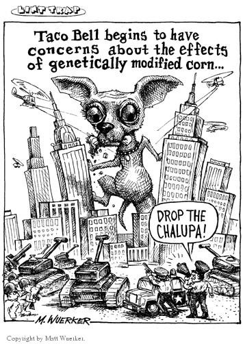Taco Bell begins to have concerns about the effects of genetically modified corn�  Drop the chalupa!