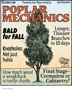 Poplar Mechanics. Bald for Fall Longer, Thinner Branches in 10 days. Knotholes: Not just holes. How much wood a woodchuck actually chucks. Final State - Cremation or Cabinetry?